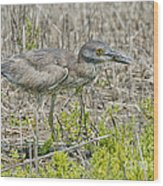 Young Yellow-crowned Night Heron Wood Print