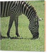 Zebra Eating Grass Wood Print