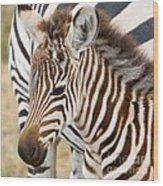 Zebra Foal Wood Print