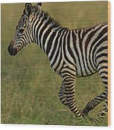 Zebra Foal Running For Joy Wood Print