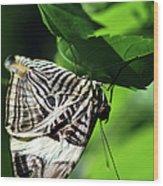 Zebra Long-wing Butterfly  Wood Print
