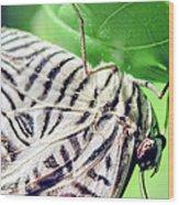Zebra Long-wing Close-up Wood Print