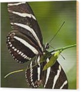 Zebra Longwing 3 Wood Print