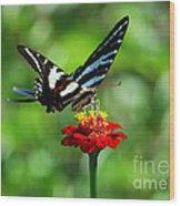 Zebra Swallowtail Butterfly On A Red Zinnia Wood Print