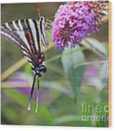 Zebra Swallowtail Butterfly On Butterfly Bush  Wood Print