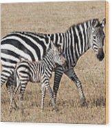 Zebra With Young Foal, Masai Mara Wood Print
