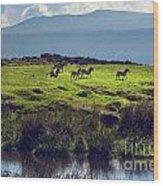 Zebras On Green Grassy Hill. Ngorongoro. Tanzania Wood Print