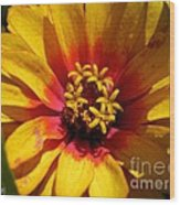 Zinnia Named Swizzle Scarlet And Yellow Wood Print