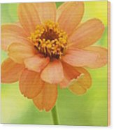 Zinnia On A Brilliant Spring Day Wood Print