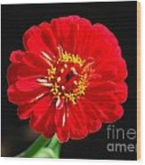 Zinnia Red Flower Floral Decor Macro Accented Edges Digital Art Wood Print