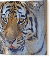 Zootography3 Tiger Prowl Close-up Wood Print