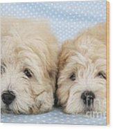 Zuchon Teddy Bear Dogs, Lying Wood Print