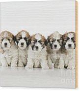 Zuchon Teddy Bear Puppy Dogs Wood Print