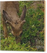 A Young Buck Grazing Wood Print
