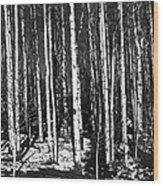 Aspen Tree Trunks Wood Print
