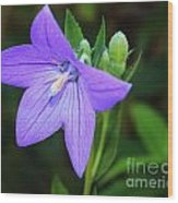 August Balloon Flower Wood Print