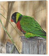 Lorikeet Parrot Sitting On A Fence Post  Wood Print