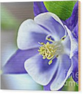 Purple Columbine Bloom Wood Print