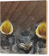 Raising Baby Birds  Www.pictat.ro Wood Print by Preda Bianca Angelica