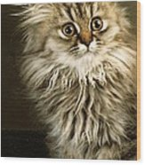 Startled Persian Kitten Wood Print