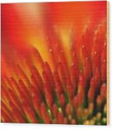 0001 Echinacea Pow Wow Sunrise Wood Print