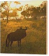 A Backlit Wildebeest Resting Wood Print