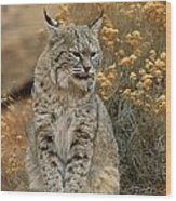 A Bobcat Wood Print