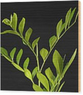 A Coffee Plant Coffea Arabica Wood Print