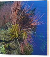 A Colony Of Red Whip Fan Corals Wood Print