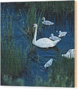 A Family Of Trumpeter Swans Swims Wood Print