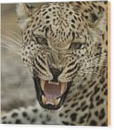 A Female Leopard, Panthera Pardus Wood Print
