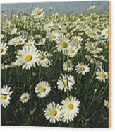 A Field Filled With Daisies In Bloom Wood Print