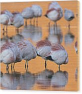 A Flock Of Migratory Flamingos Roost Wood Print