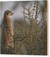 A Meerkat Suricata Suricatta Stands Wood Print
