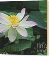 A Pink Tipped White Lotus Wood Print