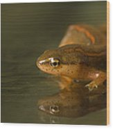 A Striped Newt Notophthalmus Wood Print