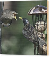 Adult Starling Feeds A Juvenile Wood Print