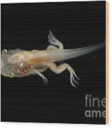 African Clawed Frog Tadpole Wood Print