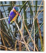 African Pigmy Kingfisher Wood Print