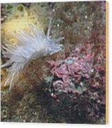 Alabaster Nudibranch Wood Print
