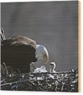An American Bald Eagle And Chick Wood Print