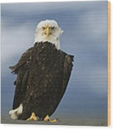 An American Bald Eagle Stands Wood Print