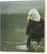 An American Bald Eagle Stares Intently Wood Print