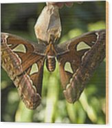 An Atlas Moth Atlas Attacus At The St Wood Print