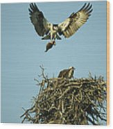 An Osprey Carrying A Fish Back Wood Print