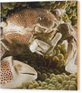 Anemone Or Porcelain Crab In Its Host Wood Print