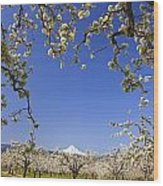 Apple Blossom Trees In Hood River Wood Print