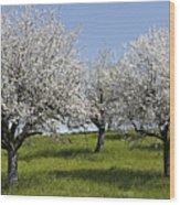 Apple Trees In Full Bloom Wood Print