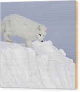 Arctic Fox Alopex Lagopus On Snow Drift Wood Print