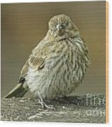 Baby House Finch Wood Print